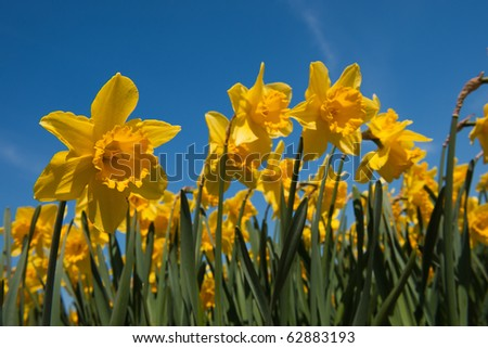 Yellow field full with trumpet daffodils in spring - stock photo