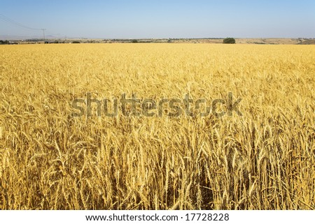 Yellow field of ripe wheat in serene day