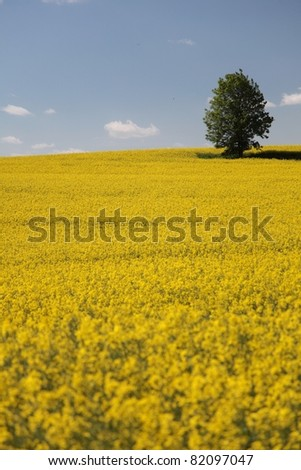 Yellow field rape in bloom with blue sky and white clouds
