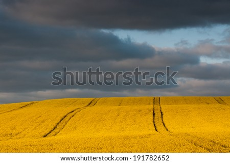 Yellow field rapeseed in bloom ,technological path - stock photo