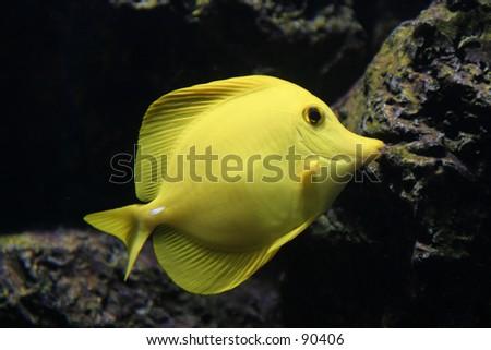 Yellow fish in an aquarium - stock photo