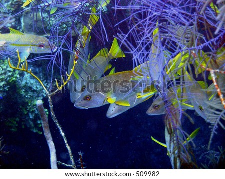 Yellow fish in purple coral - Belize