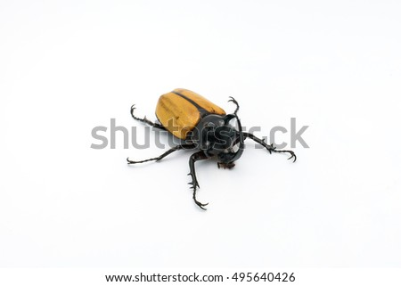 yellow-fivehorned beetle isolated on white background.