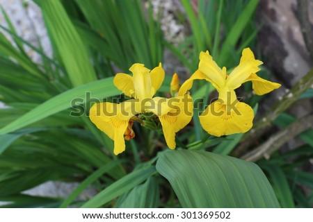 Yellow Flag Iris or Water Flag Iris Flowers; Iris pseudocorus - stock photo