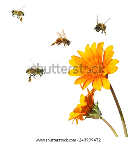 Yellow flower and bees. Close up. ( Calendula flower and Apis mellifera bees). Isolated on white - stock photo