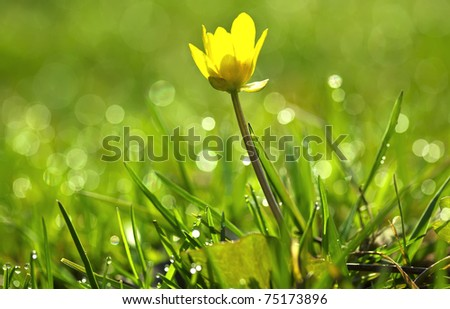yellow flower and drops of morning dew on a green grass - stock photo