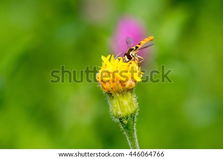 yellow flower. bee in flight.drone on flower. pollination. close-up. shallow depth of field - stock photo