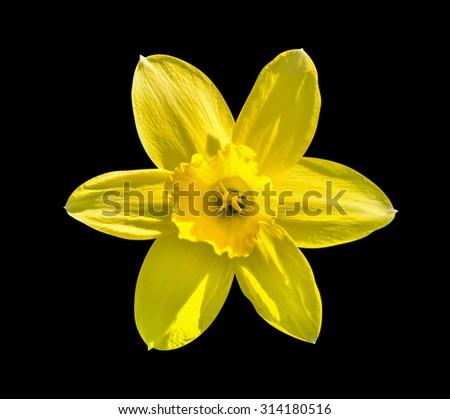 Yellow flower day lilies Hemerocallis macro isolated on black - stock photo