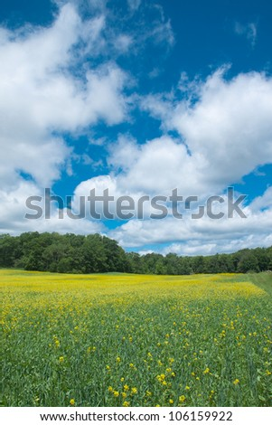Yellow flower field with blue sky and cloud