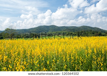 Yellow flower fields with mountain and blue sky background - stock photo
