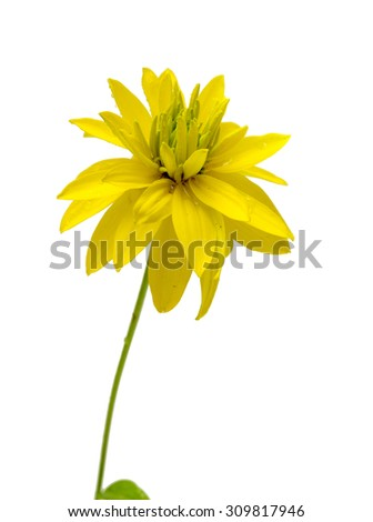 yellow flower isolated on white - stock photo