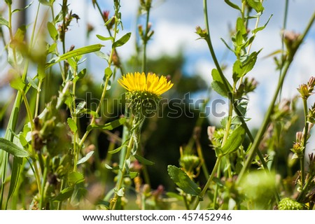 Yellow flower like a dandelion in the grass against the sky. - stock photo