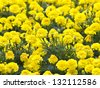 Yellow Flower, Marigold in the garden - stock photo