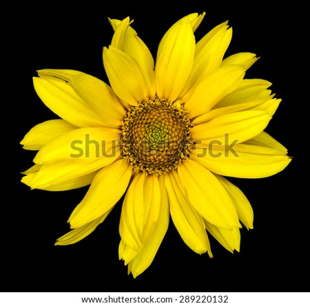 Yellow flower of a decorative sunflower Helinthus isolated on black - stock photo