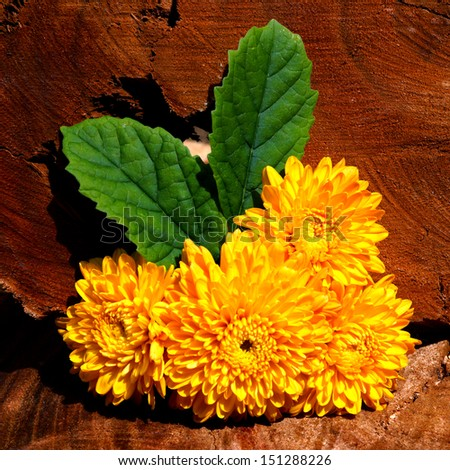 "Yellow flower of Chrysanthemum. ""Chrysanthemum indicum Linn."" (Dendranthemum grandifflora.)"