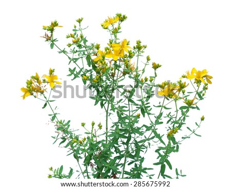 Yellow flower of Hypericum or St. John's wort, isolated on white - stock photo