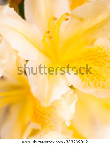Yellow flower of rhododendron shrub. Close up.