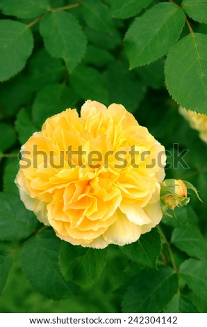 Yellow flower of Rosa Molineux - stock photo