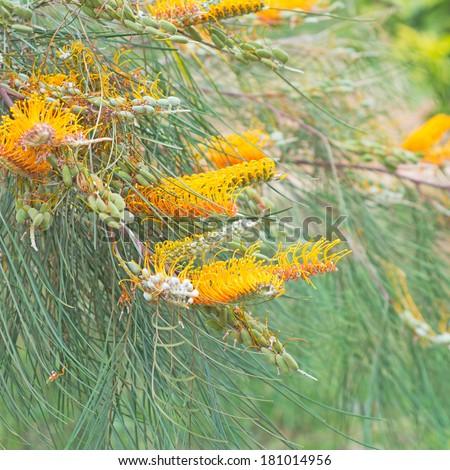 Yellow flower of the Grevillea plant native to Australia - stock photo