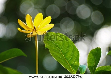 Yellow flower on blurred  background  , Natural black  blur background .