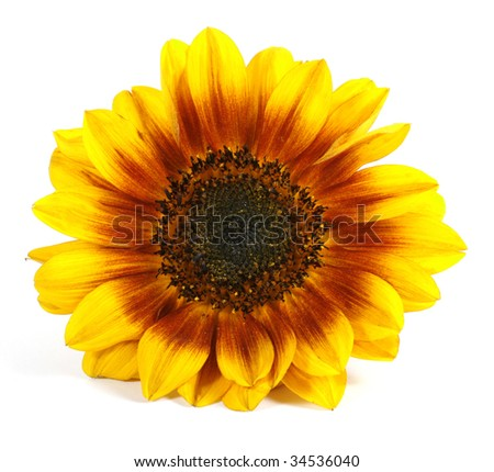 Yellow flower on the white background