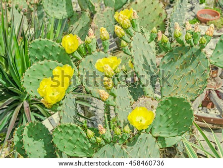Yellow flower Opuntia humifusa, the devils tongue, eastern prickly pear or Indian fig. Cactus flowers, close up - stock photo