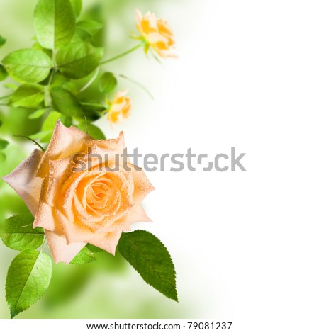 Yellow flower rose with green leafs on white background - stock photo