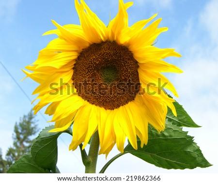 Yellow flower sunflower on background blue sky - stock photo