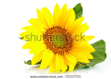 yellow flower sunflower on white background - stock photo