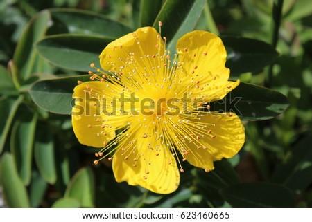 Yellow flower five petals stock photo 100 legal protection yellow flower with five petals mightylinksfo