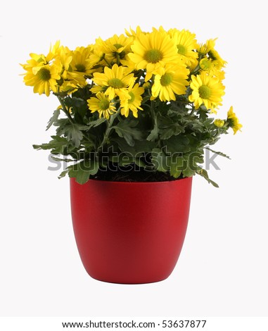 Yellow flowering plant in red pot - stock photo