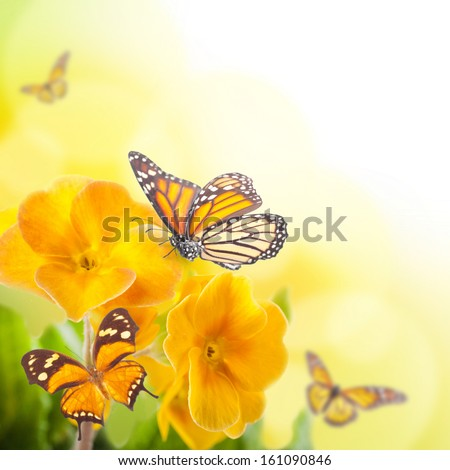 Yellow flowers and butterfly, a spring primrose - stock photo