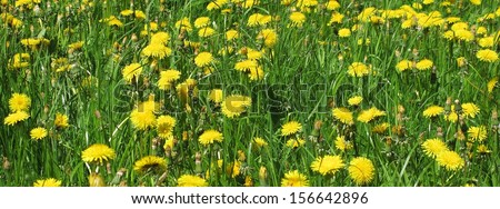 Yellow flowers and green grass background - stock photo