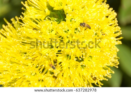 Yellow flowers round long pollen favorite stock photo royalty free yellow flowers are round with long pollen is a favorite of bees the mightylinksfo