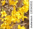 yellow flowers. beautiful forsythia bush bloom in springtime - stock