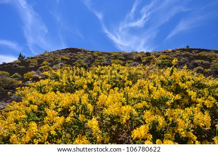 Yellow flowers blooming in Teide National Park, Tenerife, Canary islands, Spain - stock photo