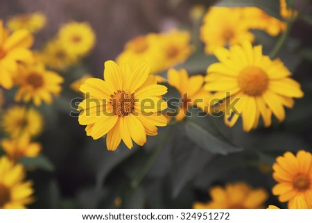 yellow flowers close up, outdoor shot - stock photo