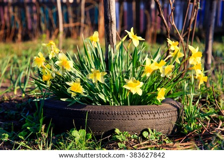 Yellow Flowers daffodils growing in a car tire at a sunny spring day - stock photo