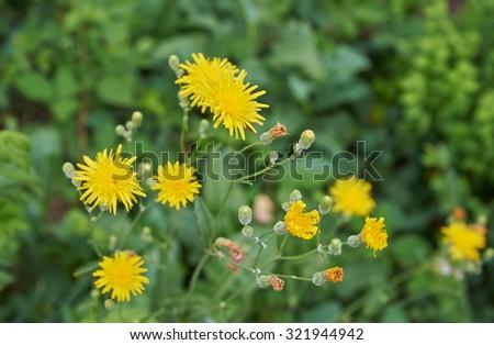 Yellow flowers dandelions - stock photo