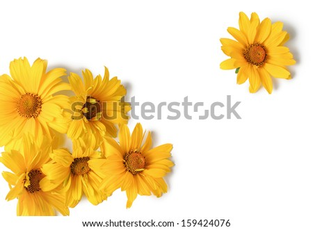 Yellow flowers  isolated on white background. closeup
