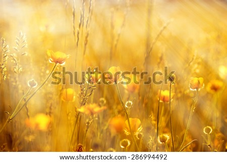 Yellow flowers lit by sun rays  - stock photo