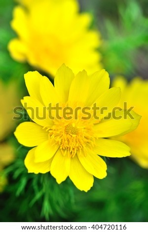 Yellow flowers of adonis (Adonis vernalis)