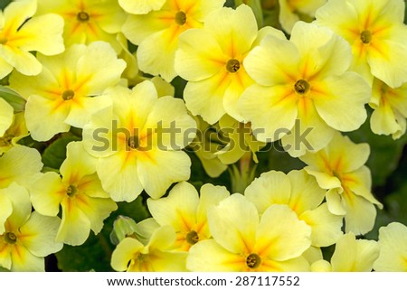 Yellow flowers Primroses (Primula Vulgaris) on a bed - stock photo