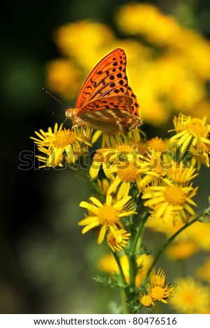 Yellow flowers Ragwort (Jacobaea vulgaris) with Silver-washed Fritillary (Argynnis paphia) butterfly