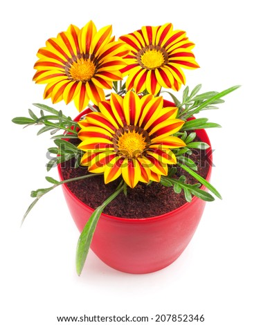 Yellow flowers (South African daisies - Gazania rigens) in flowerpot  isolated on white background - stock photo