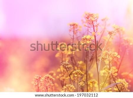 Yellow flowers (wild flower) - stock photo