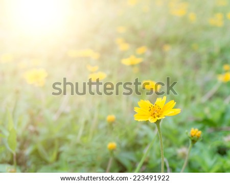 yellow flowers with morning sunlight in spring time - stock photo