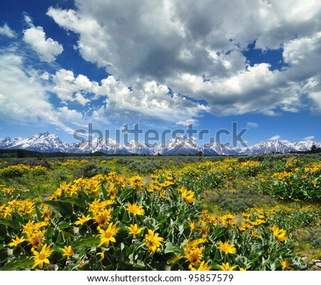 yellow flowers with the grand tetons in the background - stock photo