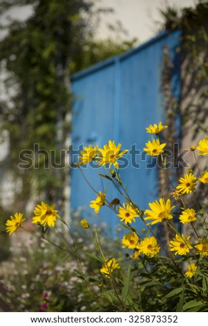 yellow flowers Yellow or Jerusalem Artichoke flower Helianthus salicifolius  in a garden with a blue wooden door as background - stock photo