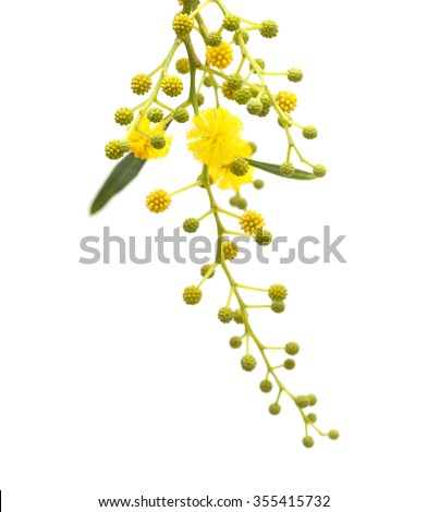 yellow fluffy flowers of Acacia cyanophylla isolated on white - stock photo
